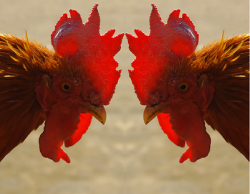 Промискуитет влияет на качество  генетики птицы