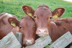 Эмбриональный центр племенного животноводства открывается в Кузбассе