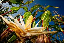 ГМО: здравый смысл торжествует