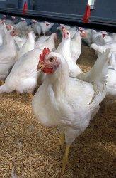 Престартерный комбикорм  для цыплят-бройлеров
