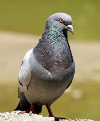 У голубей снова диагностирована болезнь Ньюкасла