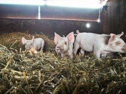Минсельхоз пишет правила для частных свинарников
