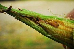 Масличные могут подорожать из-за нашествия гусениц в Бразилии