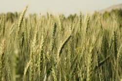 Турция надолго попрощается с российской пшеницей