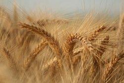Исследование:  пшеница значительно улучшает коэффициент конверсии корма у индейки