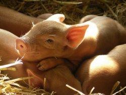 Соевые дрожжи – хорошее дополнение к рациону новорожденных поросят