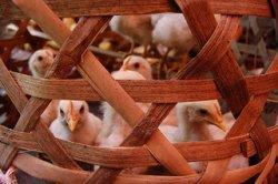 Птичий грипп нанёс «удар» по сельскому хозяйству Италии