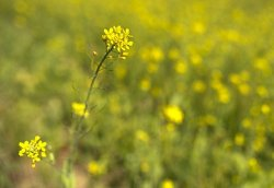 Замена дополнительного масла полножирным семенем канолы в рационе бройлеров