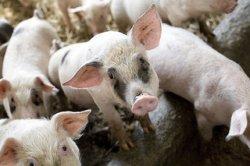 Регионы будут сами решать, сколько свиней оставить на частных подворьях из-за угрозы АЧС