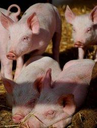 Как предотвратить АЧС на своей ферме