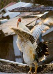 Уровень ферментов связан с глубокой пекторальной миопатией у домашней птицы