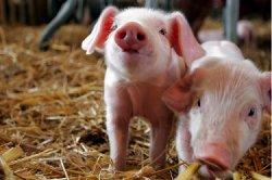 В США свирепствует смертельный свиной вирус