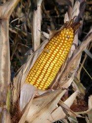 Кормовая индустрия России быстрыми темпами наращивает использование кукурузы