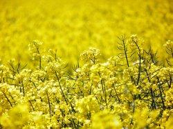 Россия соберет рекордный урожай рапса
