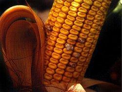 Влияние детоксикационной кукурузы на поросят