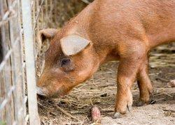 Великобритания опасается за здоровье свиней из-за распространения эпидемий в мире
