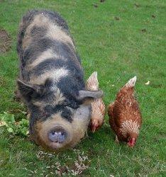 Миксы органических рационов для свиней и птицы Великобритании