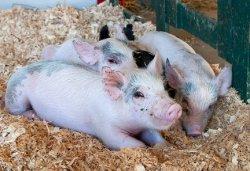 Являются ли корма причиной свиного вируса?