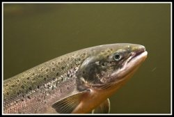 Генетический чип поможет фермерам разводить лучшего лосося
