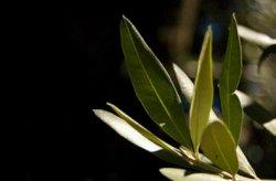 Оливковые листья - альтернативный способ сократить затраты на корма