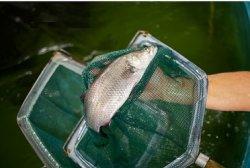 ФАО: Мировое производство рыбы в 2013 г выросло почти на 2%, до рекордных 160 млн тонн