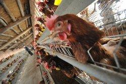 Повышая конкурентоспособность Российского птицеводства