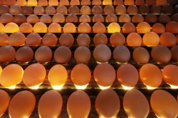 Оптимизация производства яиц