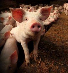 CFIA не может подтвердить, что именно корм вызвал эпидемию PEDV у свиней в Канаде