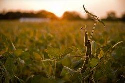 В Китае запрещено коммерческое выращивание ГМ-зерновых
