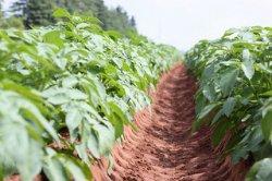 Томские ученые вывели сорт картофеля, устойчивый к опасному карантинному вредителю