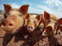 Высокий уровень фосфора благотворно влияет на кости свиней