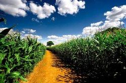 Японские покупатели возвращаются в Америку за кукурузой