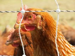 Предложения по модернизации органического рынка могут разрушить сектор птицеводства ЕС