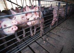 Реакция Еврокомиссии на приостановку поставок европейской свинины в Россию