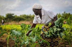 Фермеры Зимбабве просят у властей защиты от ГМО