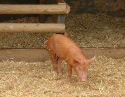 PEDV станет причиной двухлетнего дефицита на свином рынке США