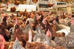 Сельскохозяйственные побочные продукты в рационах птицы снижают парниковые выбросы
