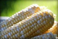 В Мексике запретили ГМ-кукурузу