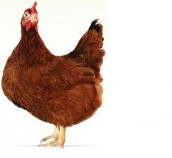 Для мясного рынка Великлобритании вывели медленно растущих кур