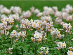В Белоруссии создали картофель, который не будут есть колорадские жуки