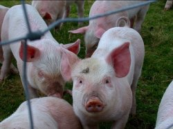 USDA берет под контроль вирус эпидемической диареи свиней