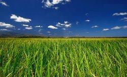 Китайские ученые выращивают супер рис