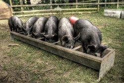 Франция запрещает импорт кормов для животных, содержащих свинину