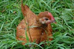 Раннее кормление племенных бройлеров для большей яйценоскости