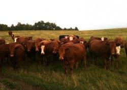 Показатели в российском племенном животноводстве растут