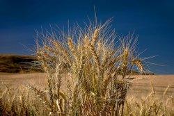 Эксперты прогнозируют снижение урожая зерновых на Украине