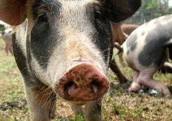 Антибиотики в свинине: посылает ли свиноводство запутанное сообщение потребителям?