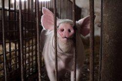 Россия подтвердила запрет на ввоз свинины из ЕС
