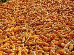 Российская кукуруза вытесняет украинскую и американскую с мировых рынков