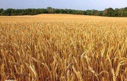 Томские ученые смогли увеличить урожайность зерновых на 20%